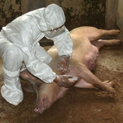 H1N1 swine influenza A virus has spread to humans